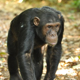 Activities focus on chimp trekking...