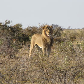 Wildlife is not prolific here but exceptional sightings may include Kalahari black-maned lion.