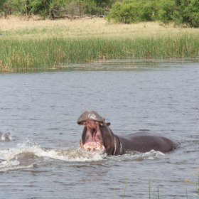 ...as well as herbivores including hippos,...