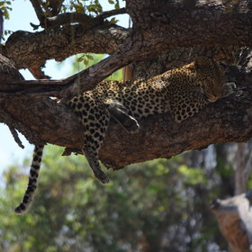 Where you can see sleeping leopards...