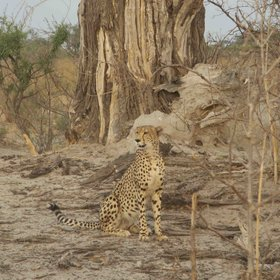 ... more occasionally cheetah ...