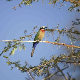 ...and the beautiful white-fronted bee-eater in season.