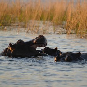 ... and hippos.