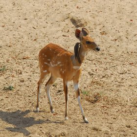 ...and sometimes a little smaller. We spotted this beautiful bushbuck from Mwamba's hide.
