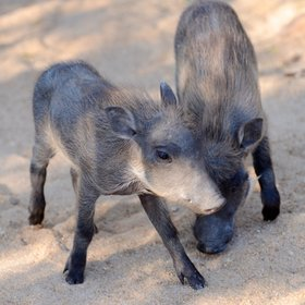 warthogs who are much less shy than in many other camps.