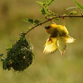 numerous weavers whose nest building antics are enthralling to watch in the green season.