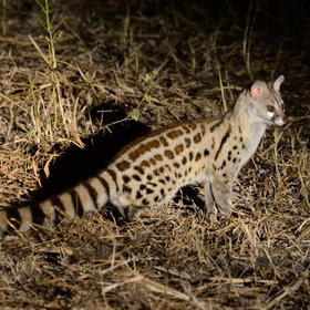 The last hour of drive is at night, with a chance to spot nocturnal creatures like this genet.