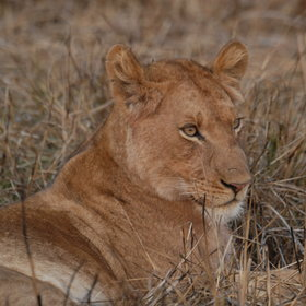 Though the area around Busanga Bushcamp is particularly well known for lion sightings.