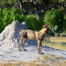 ...and wild dog although they are generally much harder to find in the rainy season.