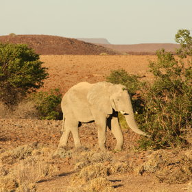 and desert adapted elephants.