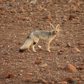 Other game could be bat-eared foxes...