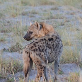 ...as well as spotted hyena, and...