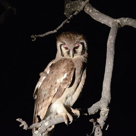 Night drives produce some more uncommon sightings like this giant eagle-owl.