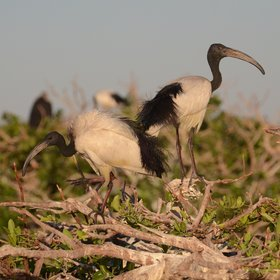 ...affords an eye-level view of nesting birds - like these sacred ibis, and...