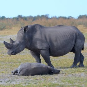 ...and very occasionally white rhino!