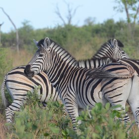...a variety of grazers and browsers like zebra...