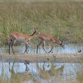 ... the water loving red lechwe,...