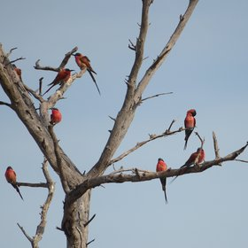 In September-October, carmine bee-eaters arrive and provide a colourful aerial display.