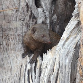 You'll also spot plenty of smaller wildlife too like this dwarf mongoose and...