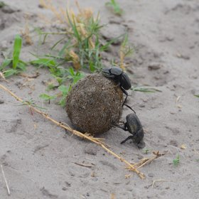 ...these busy dung beetles who emerge with the first rains.