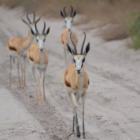 Game viewing here is best in the rains but desert adapted species can always be seen...