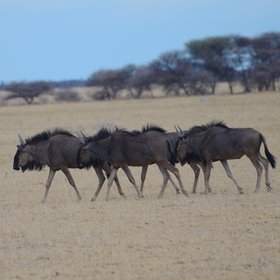 ...including small groups of wildebeest, sprinkbok, giraffe and zebra.