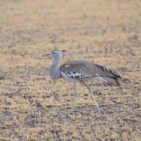 ...and the kori bustard - Africa's heaviest flying bird.