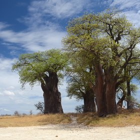 You can also take a day trip to the famous Baine's Baobabs from Nxai Pan and...