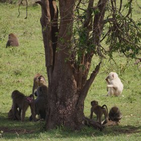 …and there's plenty of savannah wildlife in the park – including this albino baboon.