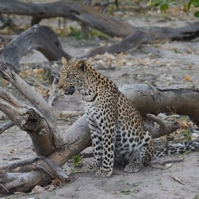 ...which has several resident leopards...