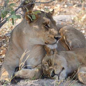 Other predators that are often seen in this area include lion,...