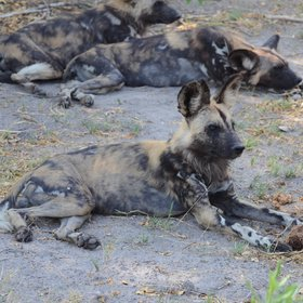 wild dogs, of which there are currently two packs in the reserve.