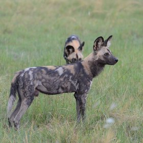 is the hunting ground for one of the reserves two packs of wild dogs.