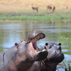 Other species commonly seen here are hippo, and...