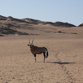 ... oryx (or gemsbok)