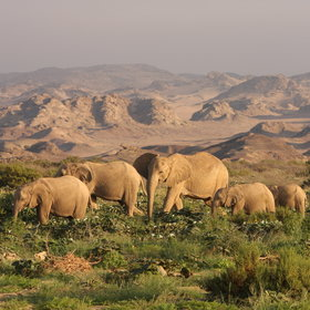 ... and desert adapted elephant in the Hoanib floodplains ...