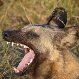 Chitabe is well-known for wild dogs...