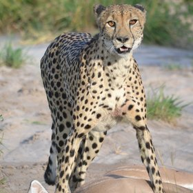 Predators can abound here, such as this cheetah making a kill outside camp.