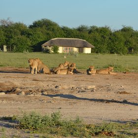Lion prides can be seen at the Nxai Pan's waterhole during both green and dry season.
