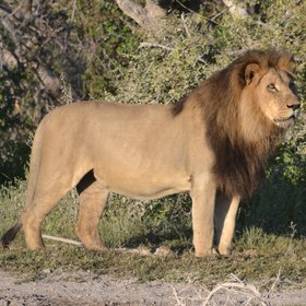 The iconic black-maned lion.
