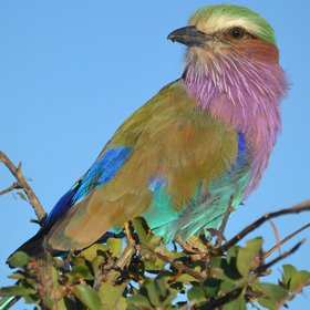 ...and the gorgeous lilac-breasted roller...