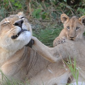 A mother lioness and cub of the resident Wakupa Pride.
