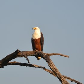 The iconic African fish eagle.