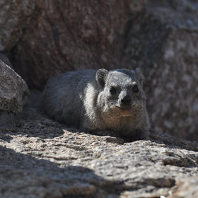 ...and you are sure to see rock hyrax or 'dassie' around the camp...