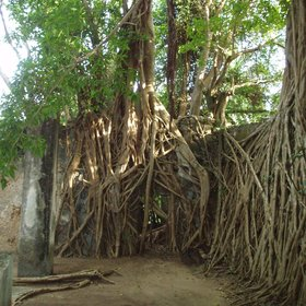 Many of the walls of the ruins are swathed in the trailing roots of fig trees.