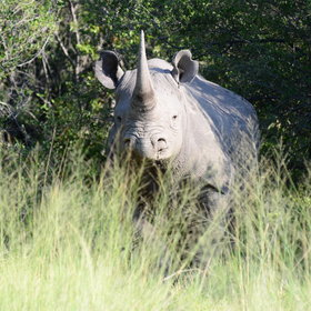 If you are lucky you can also spot a white and black rhino.