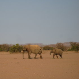 While at Doro Nawas you can track desert-adapted elephants.