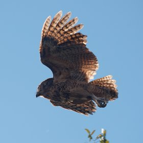 ...some rarer species like the Pel's fishing owl