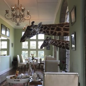 …where giraffes visit to be fed…