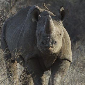 At Saruni Rhino you can track black rhinos on foot using radio telemetry equipment.